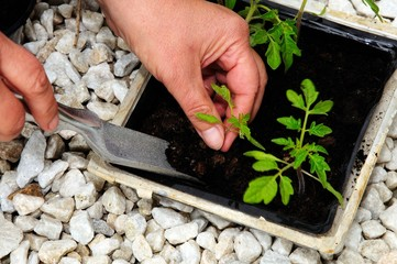 Transplanting tomato seedlings © Arena Photo UK