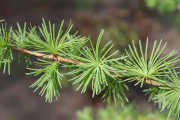 Young green leaves of larch blossom on tree branch