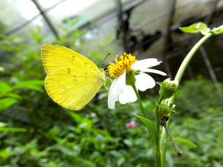 蜜を吸う黄蝶