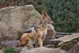 Wild jackal