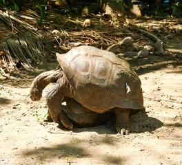 Giant tortoises mating at Seychelles