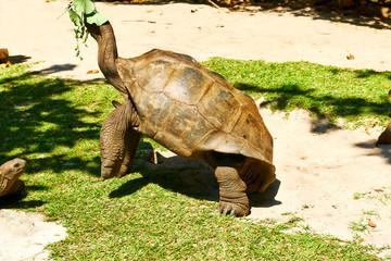 Giant tortoise at Seychelles