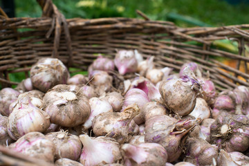Fresh garlic in the wicker basket