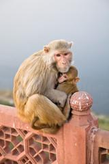 Rhesus Macaque, Agra