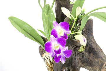 Purple Orchid and leaves on an old tree stump on white backgroun
