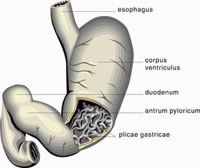 Human organ #26