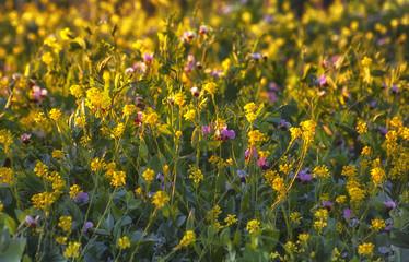 Erba medica, fiori di campo