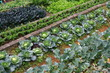 Organic Farm - 77746220