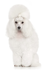 White Poodle portrait