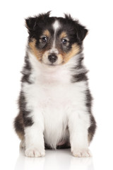Sheltie puppy on white background
