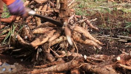 Cutting Cassava root