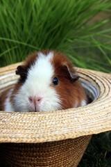 Ein Meerschweinchen schaut aus Hut, Gras,Garten
