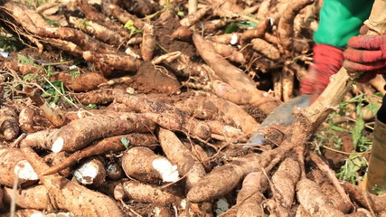 Cutting Cassava root