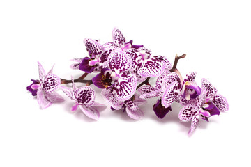 spotted orchid flowers on a white background