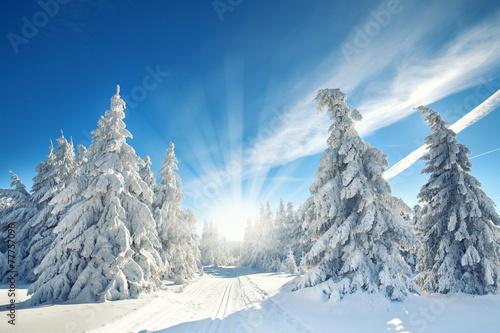 schneebedeckte Tannen im Wald - 77757096