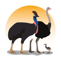 ostich cassowary chick illustration