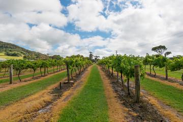 Vineyard in NSW, Australia