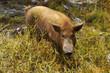 Schwein in den Tropen