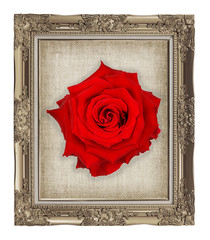 red rose on golden frame with empty grunge linen canvas  beautif