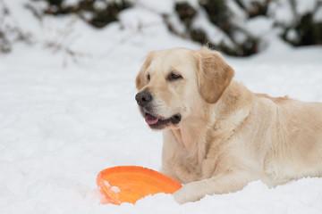 Golden Retriever with orange frisbee on the snow