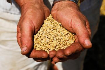 agriculture, combine, farmer, hands, gold, grain, health