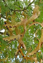 cosse de graine d'acacia