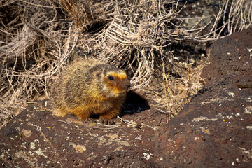 Yellow Bellied Marmot emerges from brush