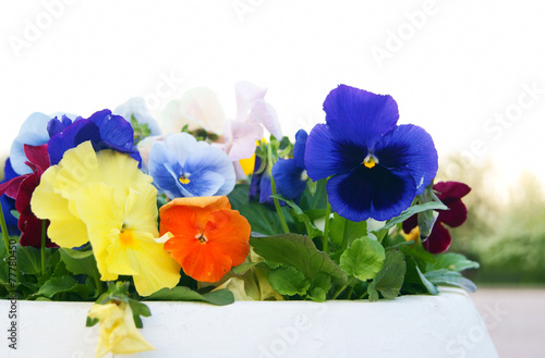 Foto op Canvas Pansies White Pot with Viola Pansy Flowers, closeup