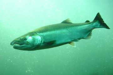 遡上するサケの水中写真 Underwater photography of the salmon