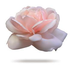 Pink rosebud isolated on white background front.