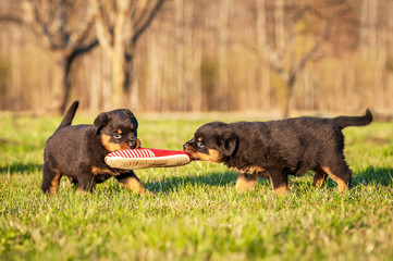 Rottweiler puppies playing with a sneaker