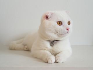 White cat scottishfold on white background