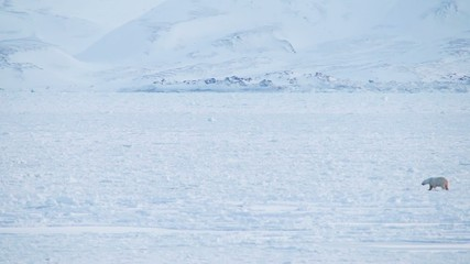 Norway Svalbard - Polar Bear Crossing Frozen Fjord