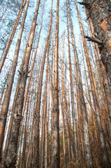 Dead Evergreen Forest due to climatе changes.