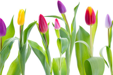 Colorful tulips isolated on white