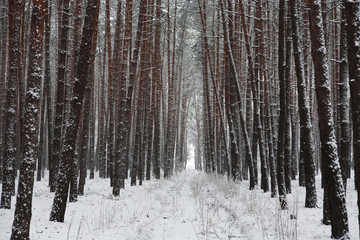 Snow covered trees in beautiful winter forest