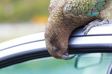 Kea Parrot peeks into tourist's car