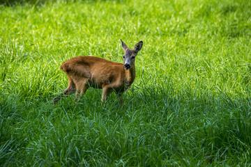 Sarna w naturze,  na zielonej łące