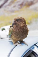 Kea Parrot landed on tourist's car