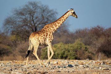Giraffe in natural habitat, Etosha National Park
