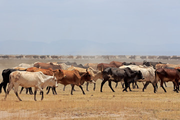 Herd of Masai cattle on dusty plains, Kenya