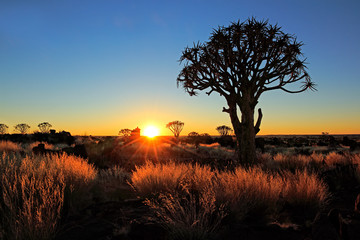 Quiver trees and grasses at sunrise