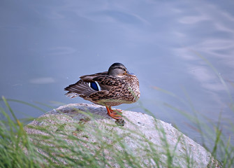 Duck sits on a rock in a pond