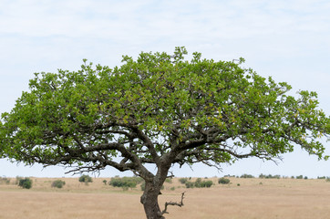 A tree stand in Masai Mara National Reserve, Kenya, Africa