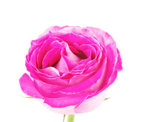 Blooming bud of pink rose  on white, isolated
