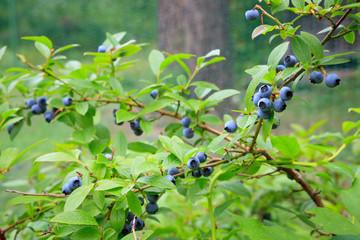 Blueberries at home garden
