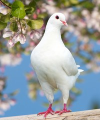 one white pigeon on flowering background