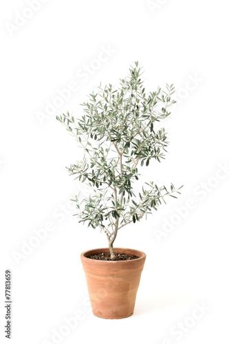 Foto op Canvas Olijfboom オリーブの鉢植え