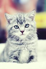 Gray kitten sitting