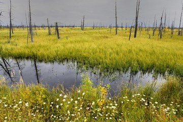 landscape swamps and dead trees in Siberia